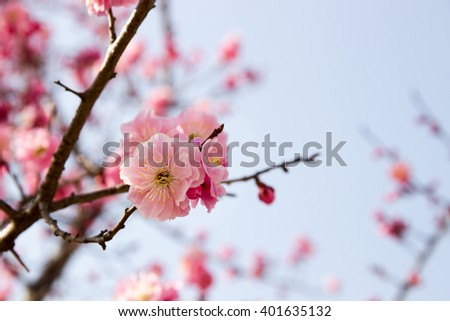 Pink plum trees blossoms in winter