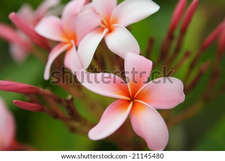 Pink Plumeria flowers - stock photo