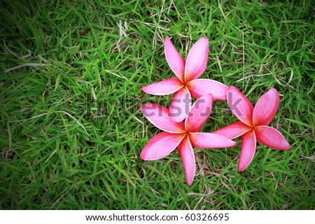 Pink plumeria  on green grass