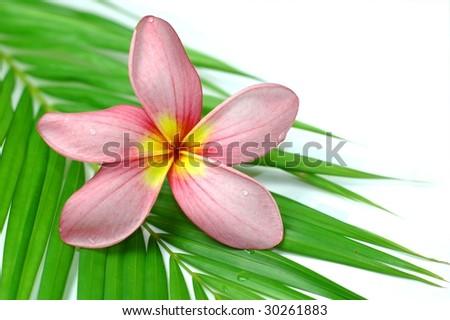 Pink plumeria on palm leaf - stock photo