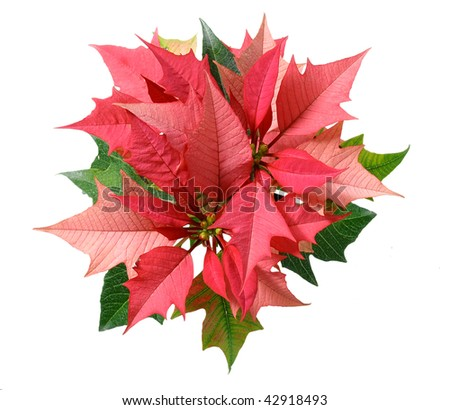 pink poinsettias