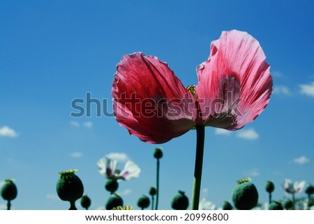 Pink poppy among white poppies - stock photo
