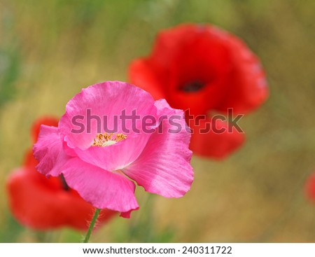 Pink poppy flower close up - stock photo