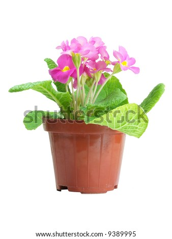 Pink Primrose in a pot isolated over white - stock photo