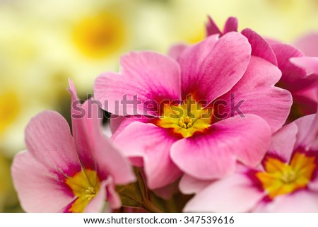 Pink primroses macro photo, shallow depth of field.