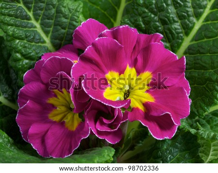 pink primula closeup - stock photo