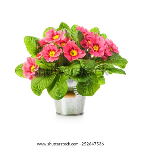 Pink primula spring flowers in bucket isolated on white background. Single object with clipping path - stock photo