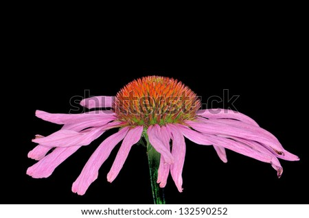 pink purple coneflower Echinacea isolated black background - stock photo
