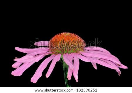pink purple coneflower Echinacea isolated black background - stock photo