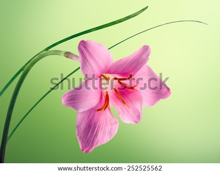 Pink-purple Zephyranthes flower, close up, isolated, green degradee background. Common names for species in this genus include fairy lily, rainflower, zephyr lily, magic lily, and rain lily. - stock photo