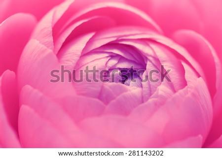 Pink ranunculus flower petals opening in macro - stock photo