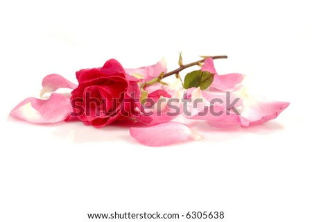 pink/red rose with petals; isolated; white background - stock photo