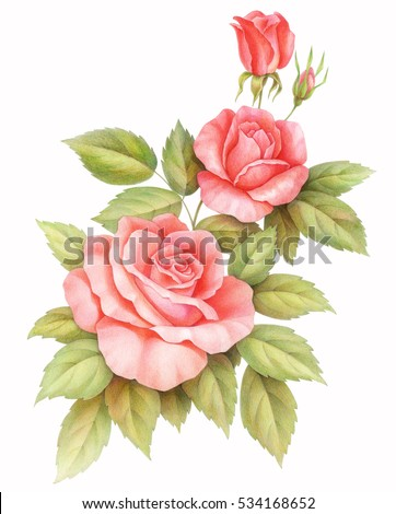 Pink red vintage roses  flowers  isolated on white background, colored pencil watercolor illustration.