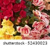 Pink, red & yellow begonias closeup - stock photo