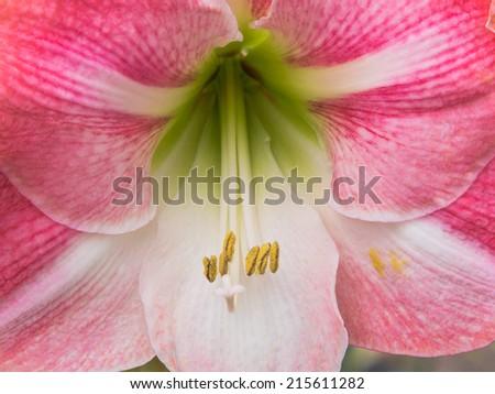 Pink reddisch amaryllis - stock photo