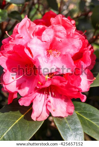 Pink Rhododendron flower close up