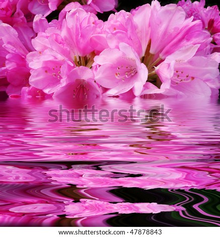 pink rhododendron flowers and mirroring effect in water level - stock photo