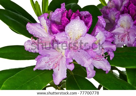 Pink rhododendron flowers on white