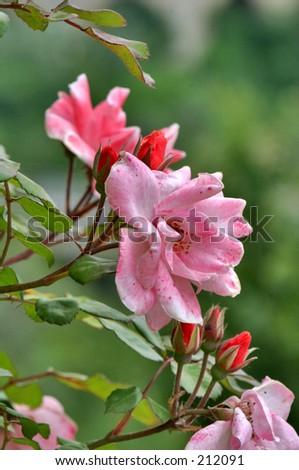 Pink Rose - stock photo