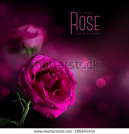 pink rose against a soft dark background - stock photo