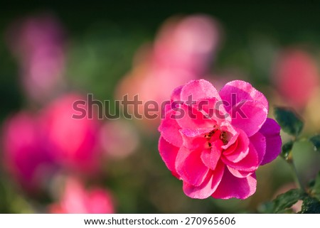 Pink rose and dew drops - stock photo