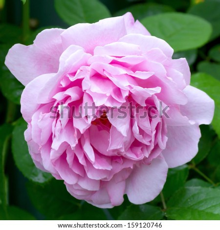 Pink rose blooming in a garden - stock photo