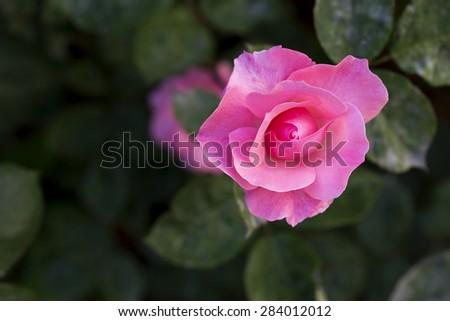Pink Rose Blooming in Garden - stock photo