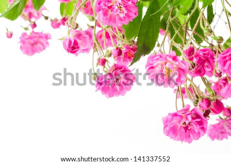 Pink rose bush isolated on white background