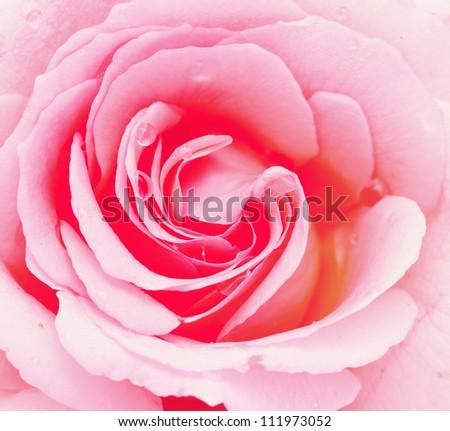 pink rose close up - stock photo