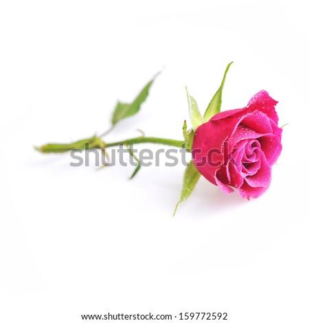 pink rose  close up macro isolated on white - stock photo