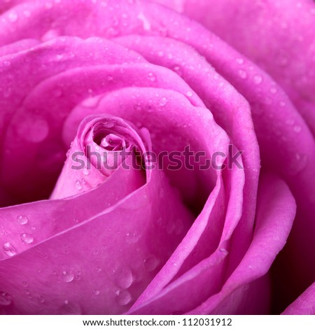 Pink rose closeup - stock photo
