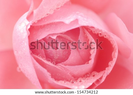 Pink rose closeup with water drops - stock photo