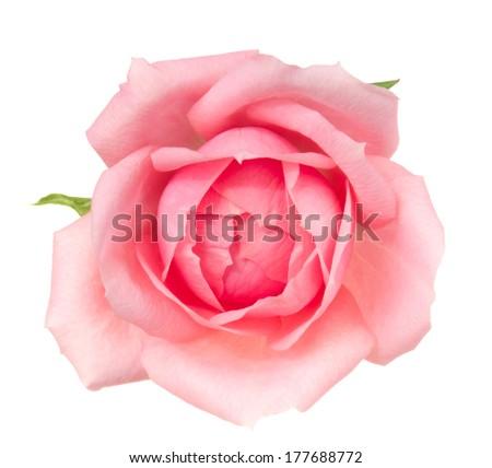 Pink rose. Deep focus. No dust. No pollen.  - stock photo