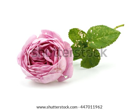 Pink rose flower from garden on a white background - stock photo