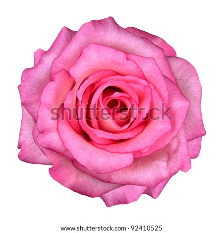 Pink Rose Flower Isolated on White Background. Top View on Beautiful Pink Rose Flower - stock photo