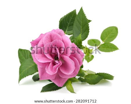 Pink rose flower on a white background - stock photo