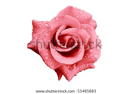 Pink Rose Flower with Rain Drops Isolated on White - stock photo