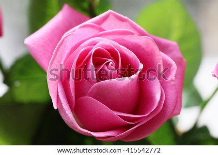 Pink Rose Flower with shallow depth of field and focus the center of rose flower. Close up of the center of a pink rose flower with shallow depth of field - stock photo