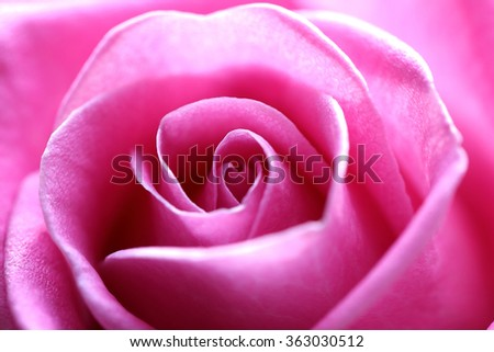 Pink Rose Flower with shallow depth of field and focus the centre of rose flower. Close up of the center of a pink rose flower with shallow depth of field. - stock photo