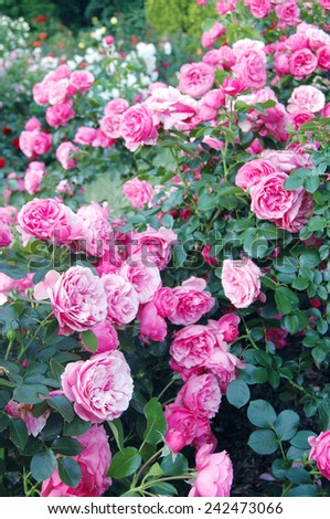 Pink rose flowers - stock photo