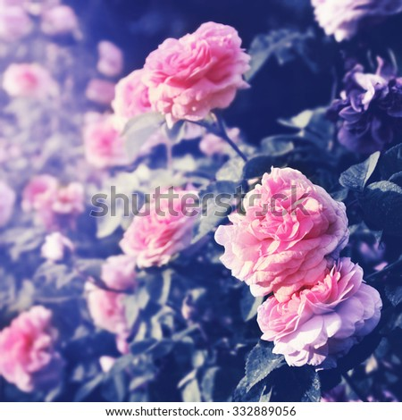 Pink rose flowers in the park. Filtered image.