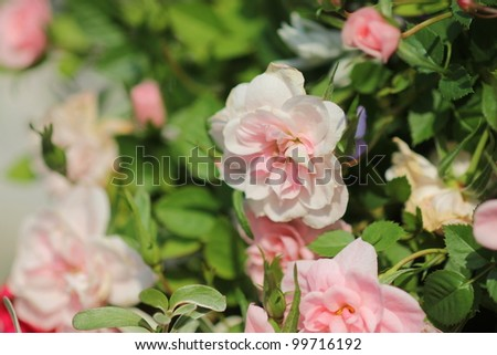 Pink rose garden - stock photo