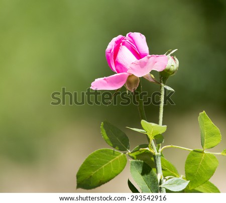 pink rose in nature - stock photo