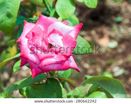 Pink rose is blooming in the botanical garden. - stock photo