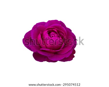 Pink rose isolated on  a white background.  - stock photo