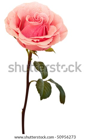 pink rose isolated on a white background - stock photo