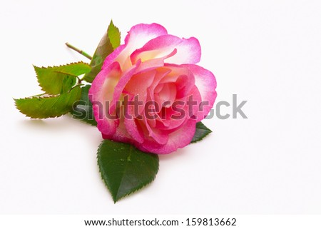 Pink rose isolated on white background. - stock photo