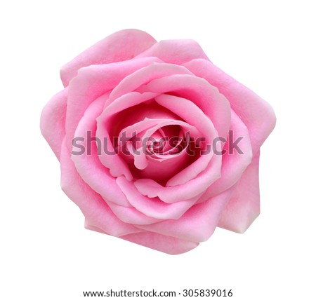 Pink rose isolated on white background. Deep focus. - stock photo