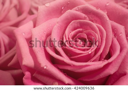 Pink rose macro. Nature background with close up flower and drops of water. Image with small depth of field. - stock photo