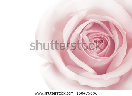 pink rose macro on white background - stock photo